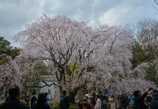180323-164110-2018桜祭り (443)_R