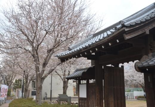 180323-170130-2018桜祭り (489)_R
