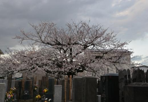 180323-170627-2018桜祭り (508)_R