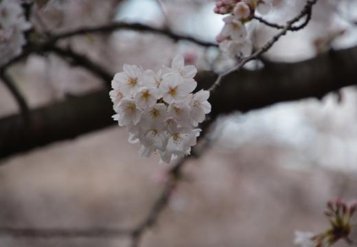 180323-170638-2018桜祭り (512)_R