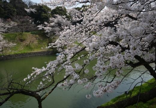180327-112920-桜の街 もう一度訪ねたい20180327 (91)_R
