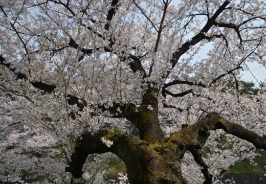 180327-113348-桜の街 もう一度訪ねたい20180327 (108)_R