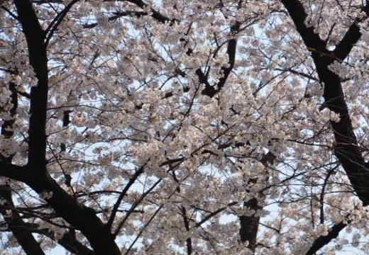 180327-120440-桜の街 もう一度訪ねたい20180327 (154)_R