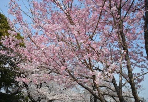 180327-121045-桜の街 もう一度訪ねたい20180327 (179)_R