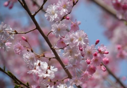 180327-121212-桜の街 もう一度訪ねたい20180327 (185)_R