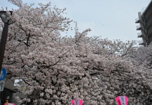180327-132844-桜の街 もう一度訪ねたい20180327 (273)_R