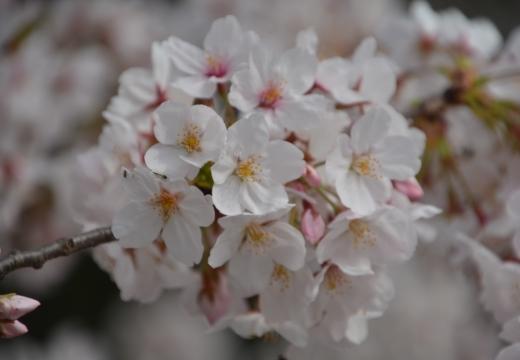 180327-135210-桜の街 もう一度訪ねたい20180327 (306)_R