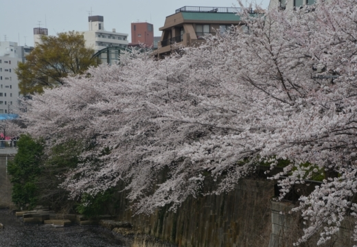 180327-135854-桜の街 もう一度訪ねたい20180327 (328)_R