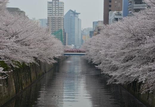 180327-140252-桜の街 もう一度訪ねたい20180327 (339)_R