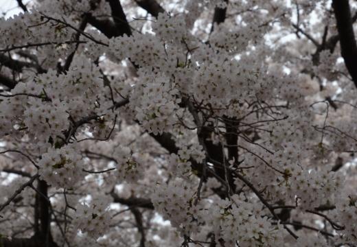 180327-142430-桜の街 もう一度訪ねたい20180327 (450)_R