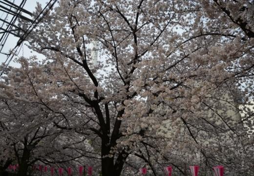 180327-142500-桜の街 もう一度訪ねたい20180327 (455)_R