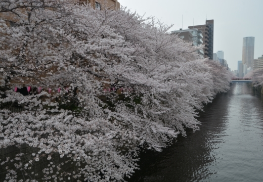 180327-142639-桜の街 もう一度訪ねたい20180327 (466)_R