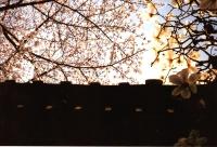 屋根にモクレン239