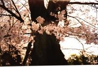 幹に桜240