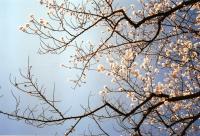 空に桜238