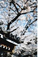 アヤメ瓦に桜246