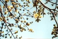空に桜241