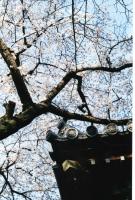 蓮瓦に桜245