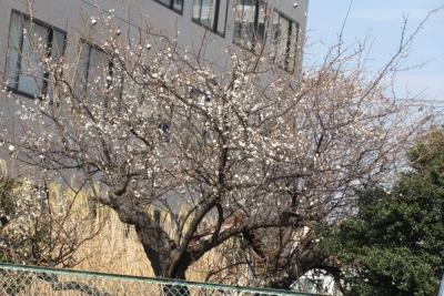 2月10日の梅の樹