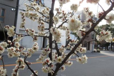 大阪の白梅