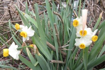 3月の水仙