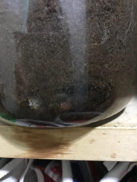 ファブリース♂蛹化①