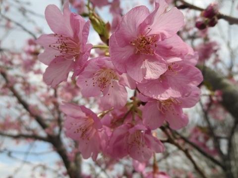 I<br />帰りのバス停傍におそらくは河津桜<br />満開です。<br /><a href=