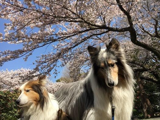 桜が綺麗0