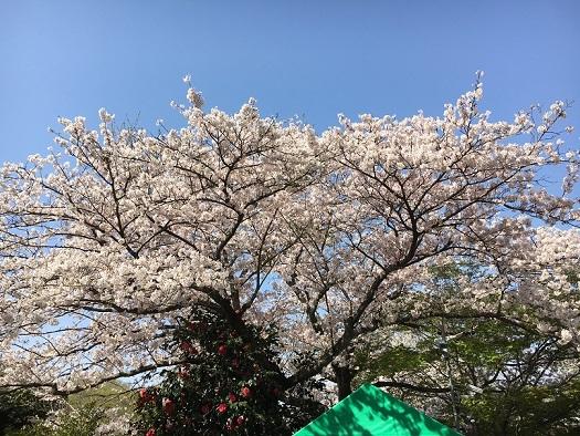 桜が綺麗1