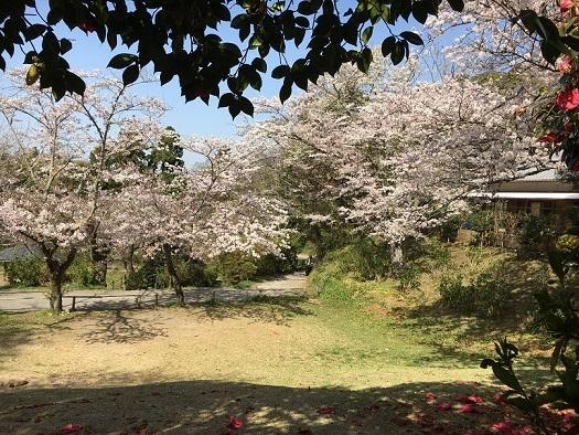 桜が綺麗2