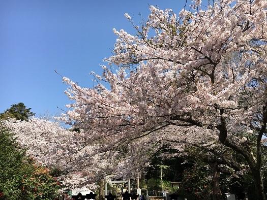桜が綺麗4