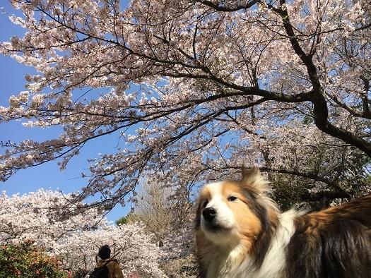桜が綺麗5