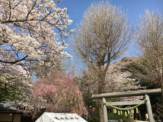 桜が綺麗6