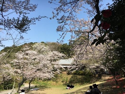 桜が綺麗3