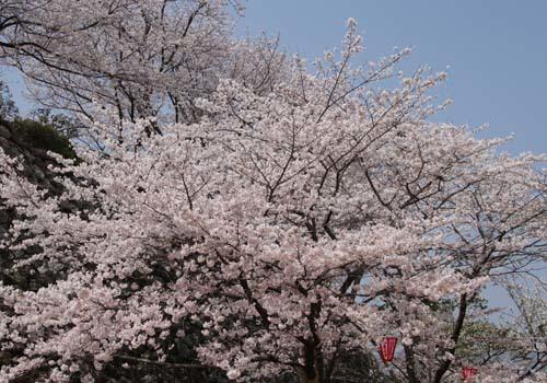 お花見、高知城