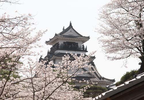 kochijou sakura