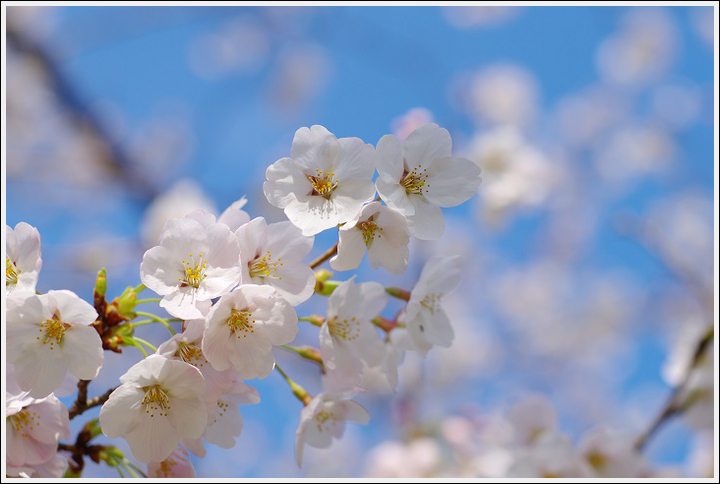 2018年3月27日 下北山スポーツ公園の桜ツーリング (10)