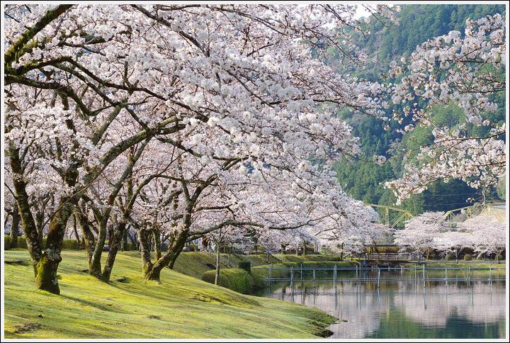2018年3月27日 下北山スポーツ公園の桜ツーリング (11)