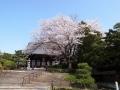 大谷本廟の大桜