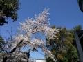 春秋座入口の迎え桜