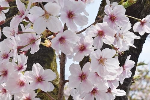 2018桜7