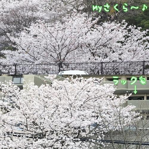 2018桜19