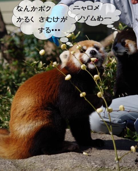 ノゾム君♂ マリモちゃん♀ レッサーパンダ 福岡市動物園