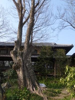 木島櫻谷画室唐楓1803