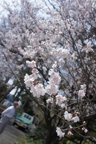 180325_桜