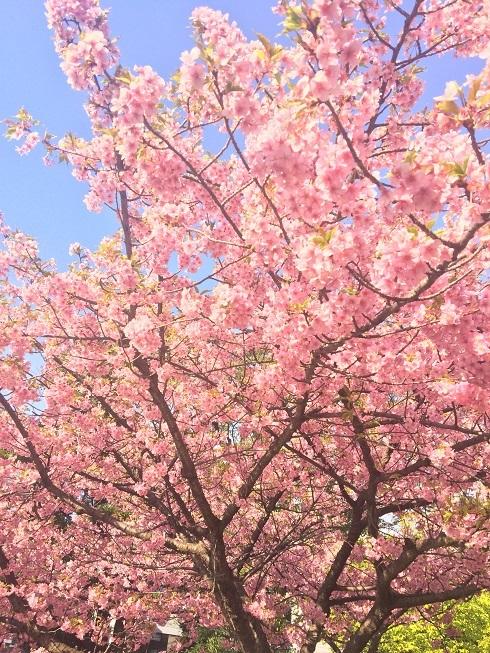 満開河津桜