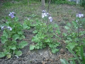 180325紫花菜