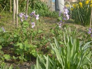 180329紫花菜少し伸びる