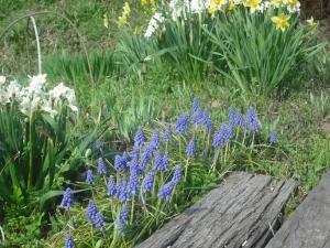 180329ムスカリも咲く
