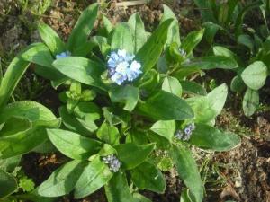 180329わすれな草も咲き始めた